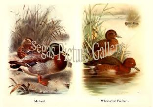 Mallard & White-eyed Pochard